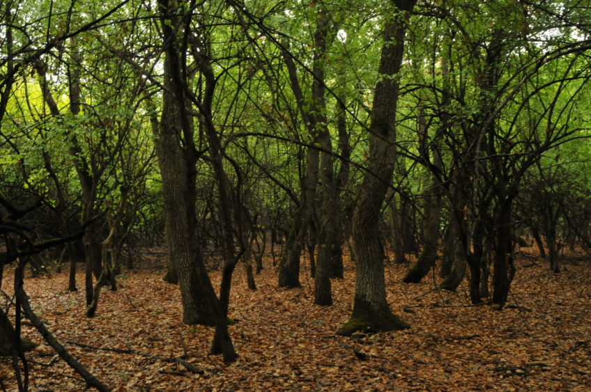 MAR first survey of old-growth forests in habitat 91AA*, Dobrogea, Romania